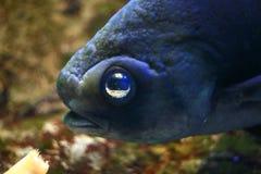grands poissons d'oeil Image libre de droits