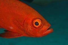 Grands poissons d'oeil (hamrur de Priacanthus) - Thaïlande Image libre de droits