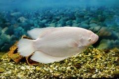 Grands poissons dans la pêche de gourami d'aquarium Photo libre de droits