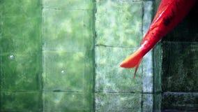 Grands poissons de Koi se reposant sur de vieux escaliers sous-marins de piscine clips vidéos