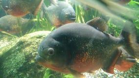 Grands poissons de Piranas Photos libres de droits