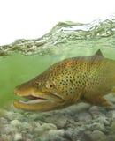 Grands poissons de truite brune dans le courant photos stock
