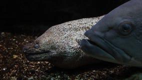 Grands poissons et anguille muray regardant fixement côte à côte clips vidéos