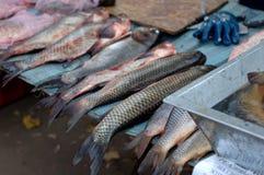 Grands poissons frais Photo libre de droits