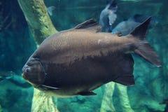Grands poissons gris profondément en mer bleue sous l'eau Image libre de droits