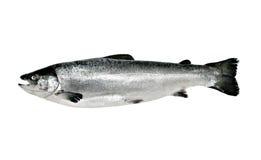 Grands poissons saumonés d'isolement Photographie stock