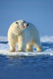 Grands polaires concernent le bord de glace de dérive avec la neige une eau dans le Svalbard arctique Image libre de droits