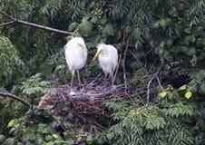 Grands poussins de héron dans un nid de cime d'arbre images libres de droits