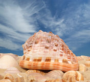 Grands seashells image stock