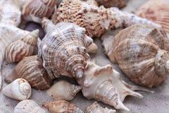 Grands seashells sur le sable images stock