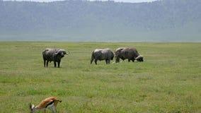 Grands taureaux puissants de Buffalo sauvage frôlant sur les plaines en Afrique clips vidéos