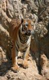 Grands tigres sur la roche, Thaïlande Photo libre de droits
