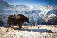 Grands yaks photographie stock libre de droits