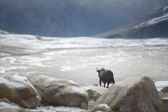Grands yaks noirs dans Karakoram photographie stock