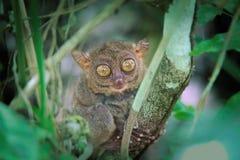 Grands yeux de Tarsier Images stock
