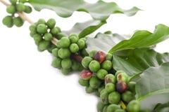 Granelli di pepe verdi freschi con la foglia isolata su un fondo bianco Fotografia Stock