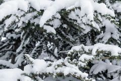 Granen förgrena sig under locket av snö royaltyfri fotografi
