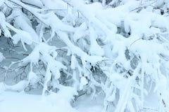 Granen gran, filialer, träd i snö övervintrar skogen Royaltyfri Fotografi