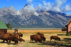 Granero de la fila del bisonte y del mormón en el Tetons magnífico fotografía de archivo libre de regalías