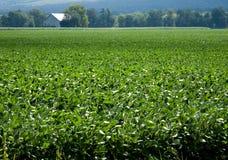 Granero del campo de la soja en fondo Imagen de archivo
