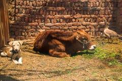 Granero del pueblo con la vaca, el perro y el ganso Fotos de archivo
