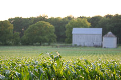 Granero en campo de maíz imagen de archivo libre de regalías