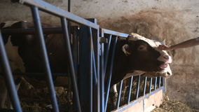 Granero moderno de la granja con las vacas de ordeño que comen el heno