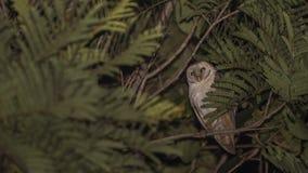 Granero Owl Hiding entre las hojas en la noche imágenes de archivo libres de regalías