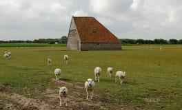 Granero Países Bajos de las ovejas Fotos de archivo libres de regalías