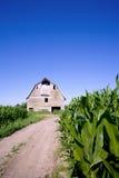 Granero viejo en el campo de maíz Imagenes de archivo