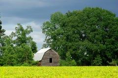 Granero viejo y campo de maíz amarillo Imagen de archivo libre de regalías