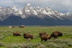 Graneros de la granja de la manada del bisonte y montañas de Wyoming Imágenes de archivo libres de regalías