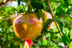 Granet. These are the fruits grow in the Caucasus royalty free stock photo