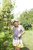 Granfather farmer who gathers pears from tree with basket full of pears Stock Image