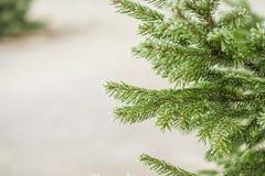 Granfilial i rimfrost Royaltyfria Foton