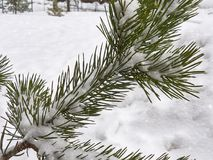 Granfilial i snön Royaltyfri Foto