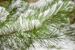 Granfilial med snön Arkivbilder