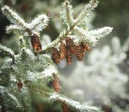 Granfilialen med sörjer kottar på snö royaltyfria foton
