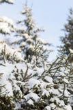 Granfilialer med snöflingor på det i solig dag i trät royaltyfri foto