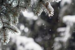 Granfilialer som täckas med snö Arkivfoto