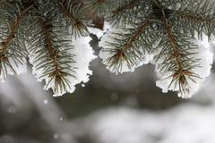 Granfilialer som täckas med snö Royaltyfri Bild