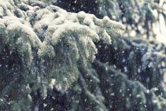 Granfilialer som täckas med snö, tungt snöfall arkivfoto
