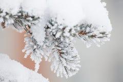 Granfruncher i snön Arkivbild