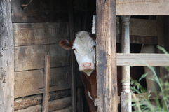 Grange et vache de foin Photographie stock