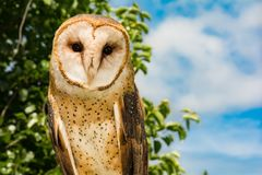 Grange Owl Close vers le haut du Tyto alba photo libre de droits