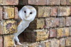 Grange Owl Looking Out d'un trou dans un mur photo stock