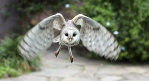 Grange Owl Raptor Bird Flying Image stock
