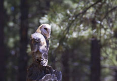 Grange Owl Sitting On Log In Sunny Forest Bokeh Background Photographie stock libre de droits