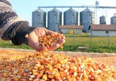 Grani appena raccolti del cereale Immagini Stock