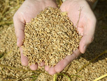 Grani del grano Immagine Stock